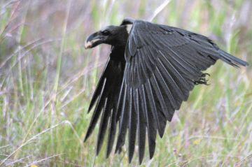 Corvus_albicollis_flight
